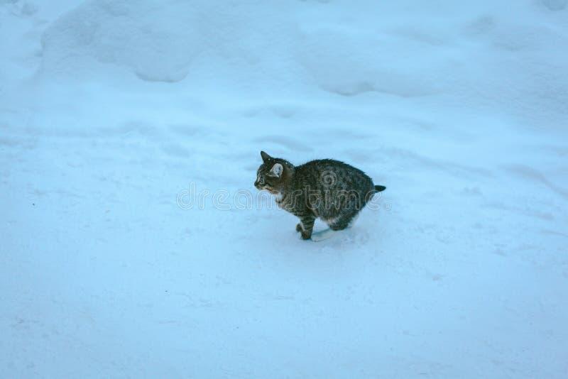 颜色与白色的平纹小猫在雪 图库摄影