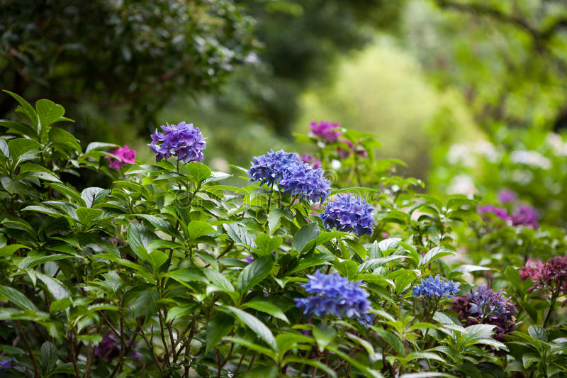 颜色八仙花属花在庭院里 免版税库存照片