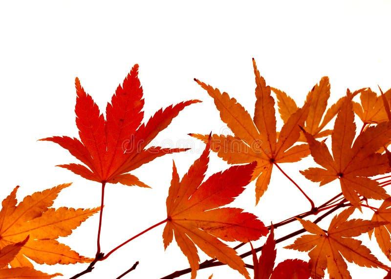 颜色留下槭树启用 免版税库存照片