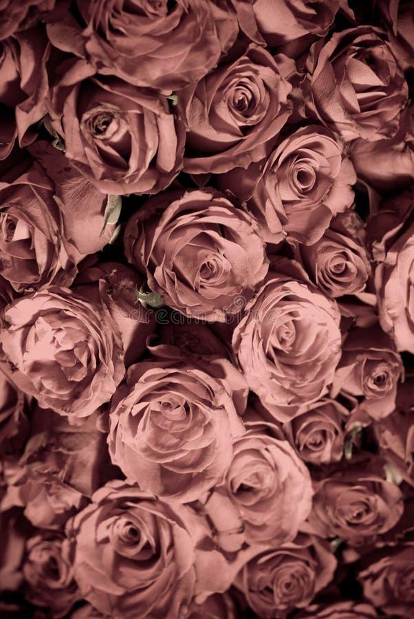 颜色退了色玫瑰 免版税库存图片