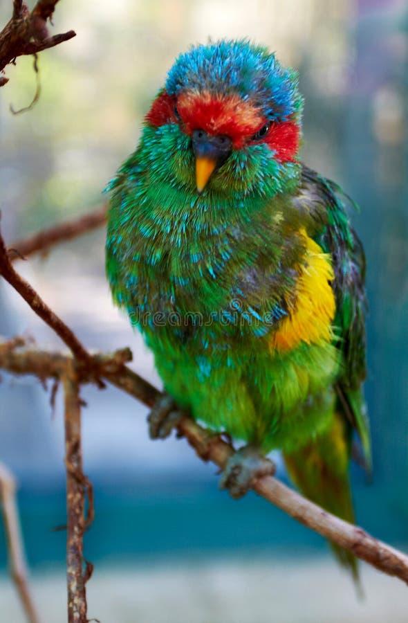 颜色鹦鹉坐耶路撒冷的分支 图库摄影