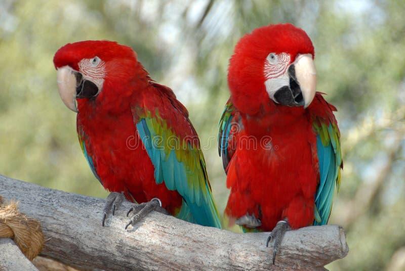颜色鹦鹉 免版税库存图片