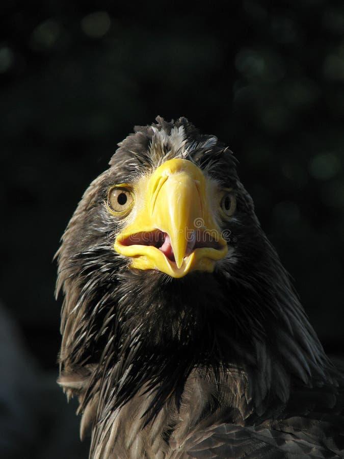 额嘴老鹰开张了海运 免版税库存图片