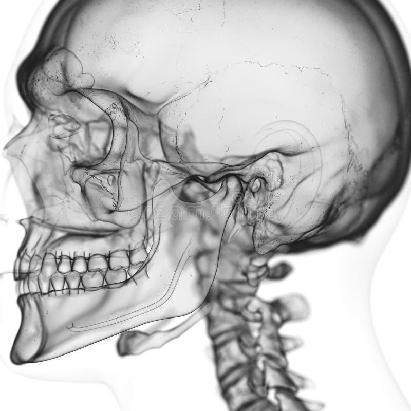 颞下颌关节 向量例证