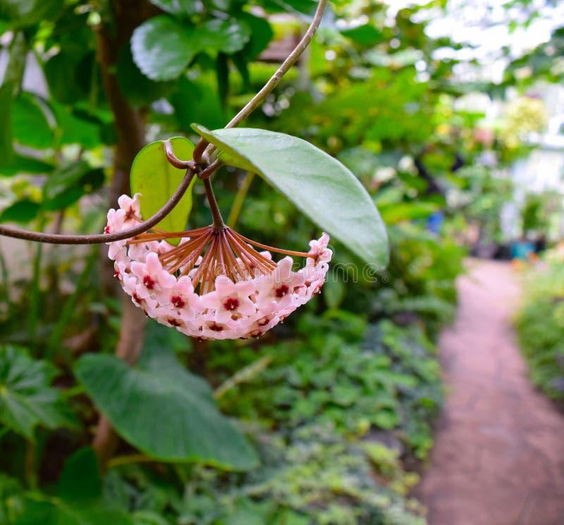 颠倒的桃红色开花在室内花园里 免版税图库摄影