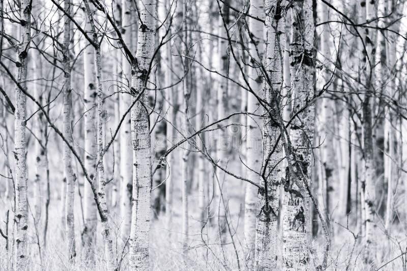 颤抖的白杨木森林黑白树干在春天 免版税图库摄影