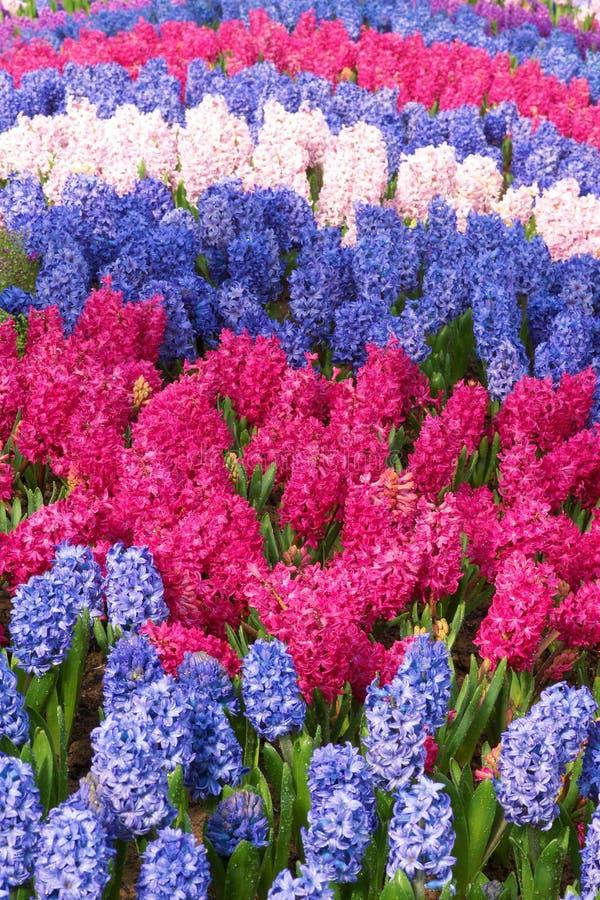 风信花分配为花坛的区域 库存照片