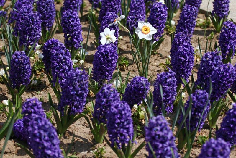风信花和水仙黄水仙 五颜六色的春天的领域开花在阳光的风信花 蝴蝶下落花卉花重点模式黄色 背景纹理phot 图库摄影