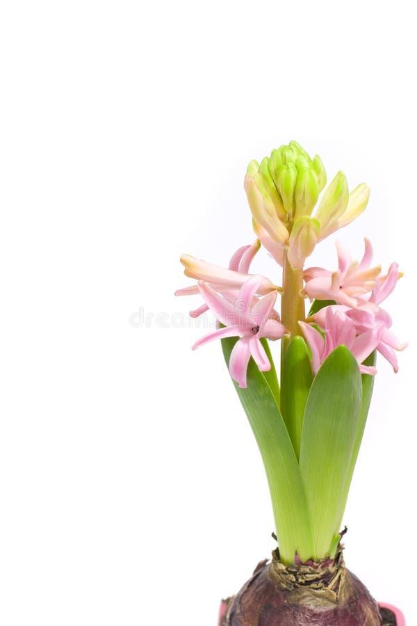 风信花粉红色 免版税库存照片
