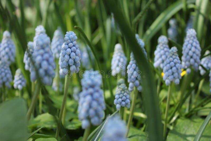 风信花绽放在春天 库存图片