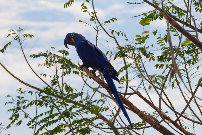 风信花金刚鹦鹉关闭,巴西野生生物 库存图片