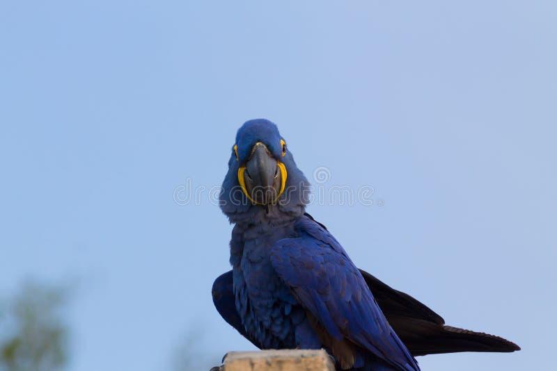 风信花金刚鹦鹉,巴西野生生物夫妇  免版税库存图片