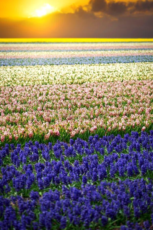风信花 美丽的五颜六色的桃红色,白色,黄色和蓝色hyacin 图库摄影