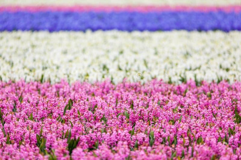 风信花 美丽的五颜六色的桃红色,蓝色和白色风信花在春天庭院,五颜六色的花卉背景,花田里开花 图库摄影