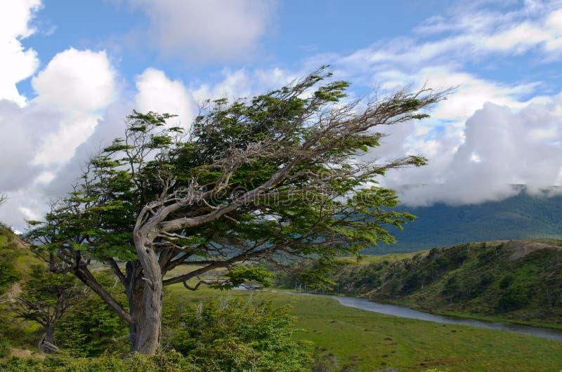 风倾向结构树在Fireland (火地群岛),巴塔哥尼亚,银 图库摄影