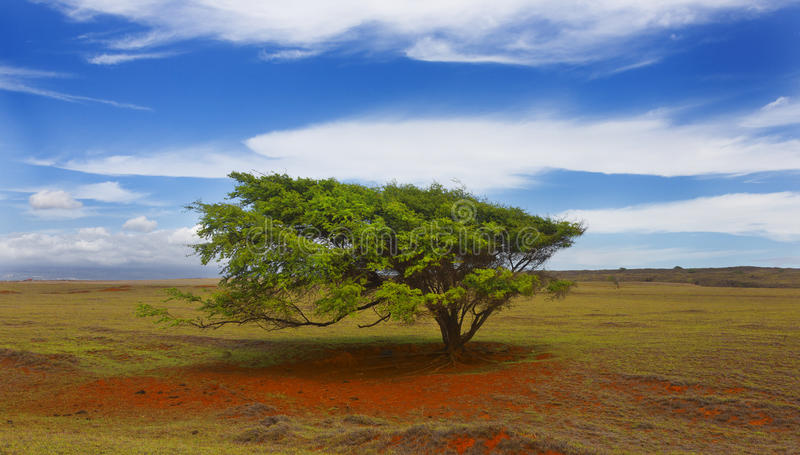 风吹的树,夏威夷 库存图片