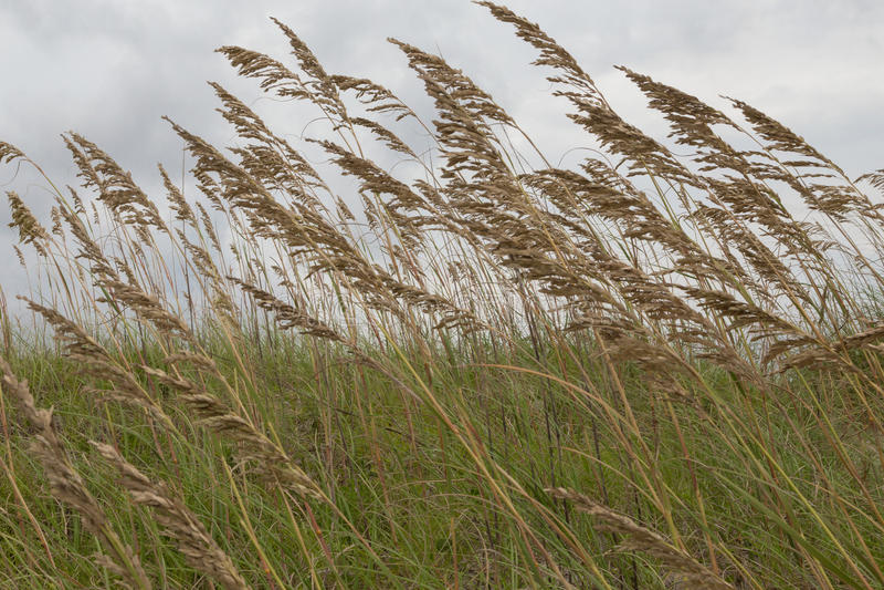 风吹的海燕麦 免版税库存图片