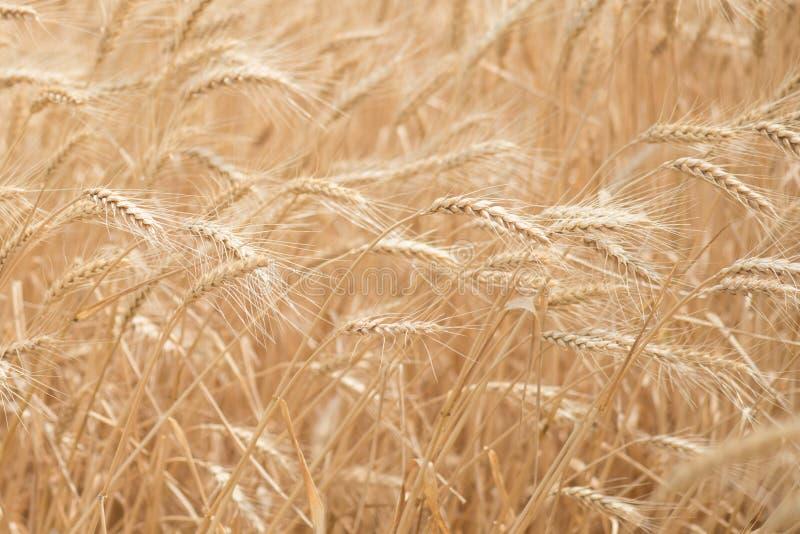 风吹的麦子 库存照片