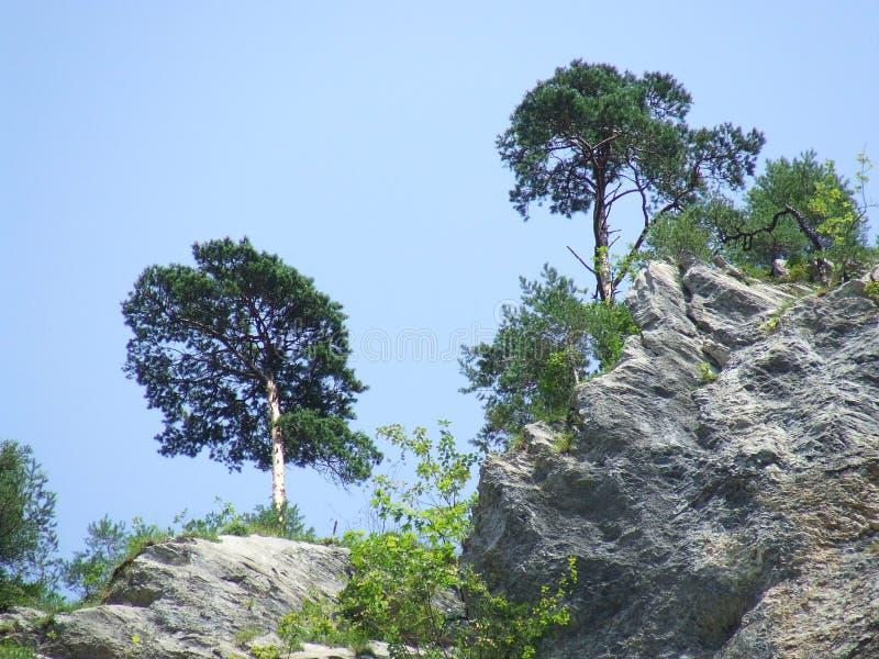 风形成的树在Aareschlucht峡谷 免版税库存图片