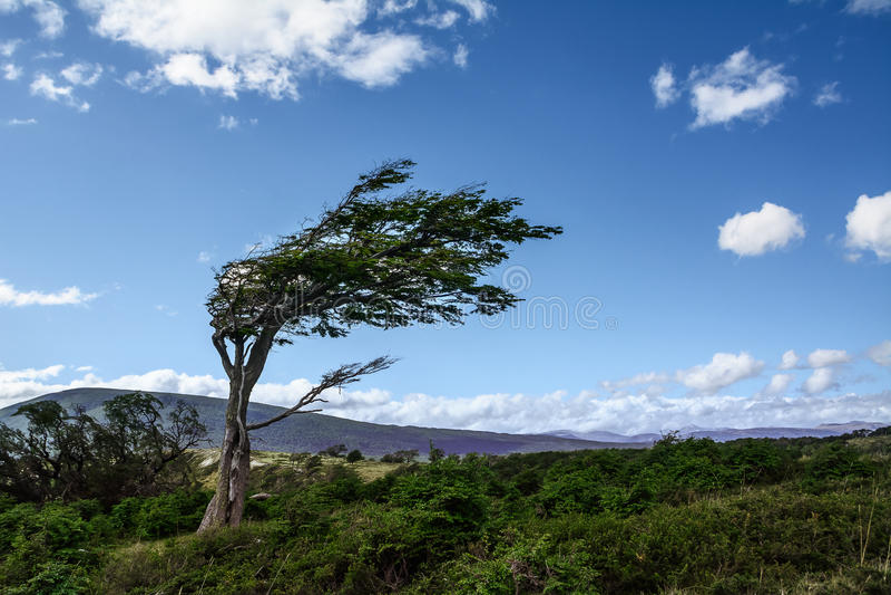 风扭屈的树在火地群岛 免版税库存图片