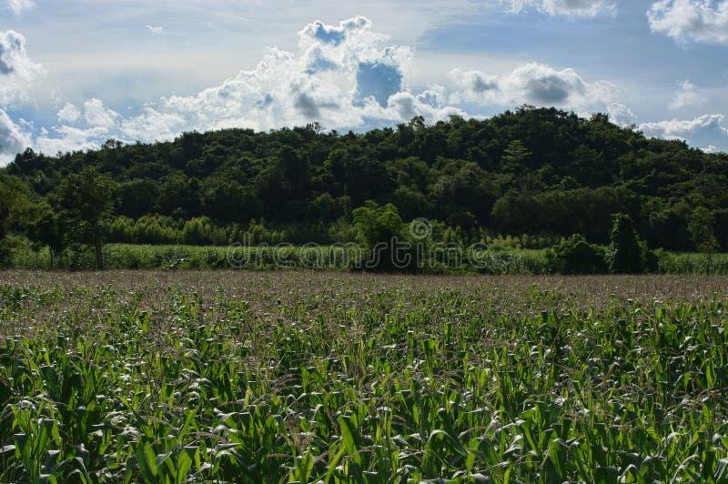 风景与大山的麦地 免版税库存照片