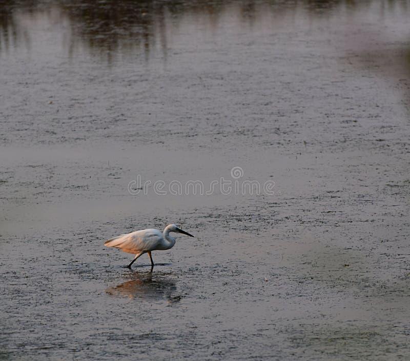 风景公园Strunjan Waterbird小白鹭 库存图片