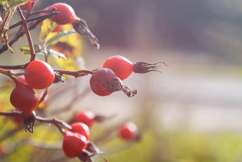 风景关闭dogrose莓果分支 容易秋天的背景编辑图象本质导航 库存照片
