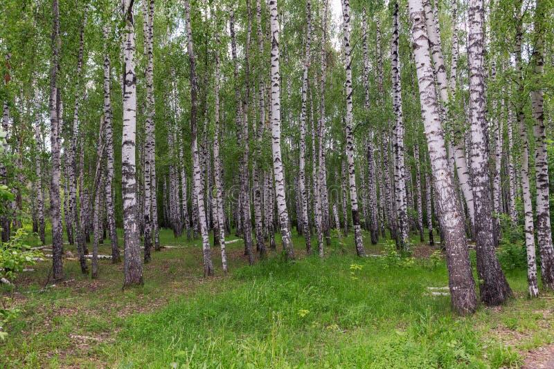 风景在桦树树丛里 库存照片