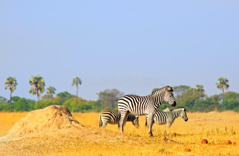 风景观点的站立在白蚁土墩附近的两个平原斑马反对自然树和灌木背景和淡蓝的天空 库存照片