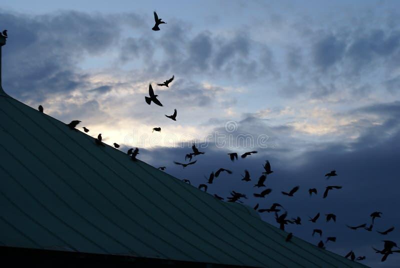 风暴乌鸦 库存图片