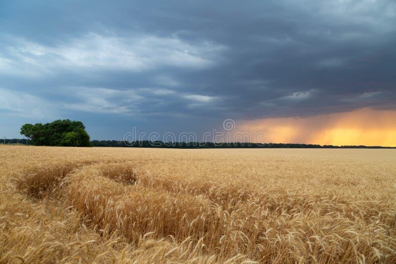 风暴旋风和mesocyclones在领域与麦子庄稼  在日落天空的多雨乌云 免版税图库摄影