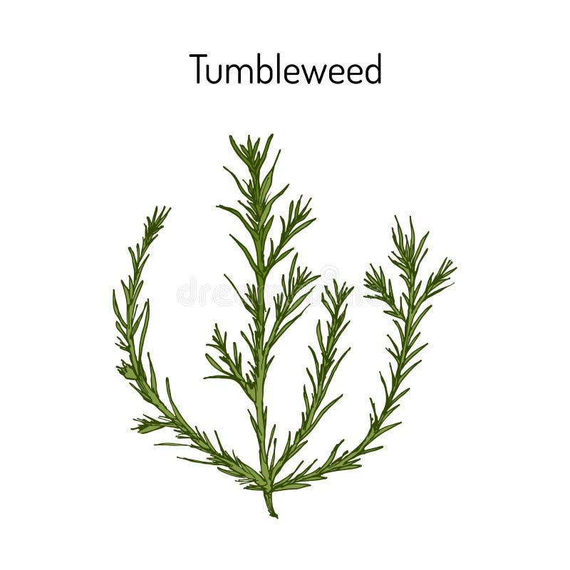风滚草猪毛菜collina,药用植物 向量例证