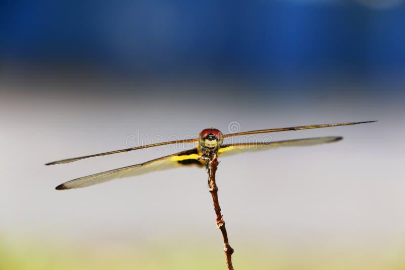 风行小树枝的蜻蜓 图库摄影