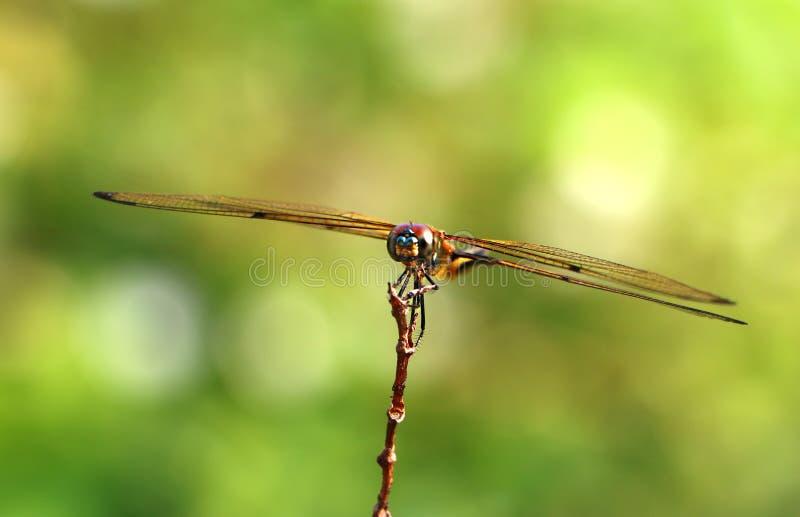 风行小树枝的蜻蜓 免版税库存照片