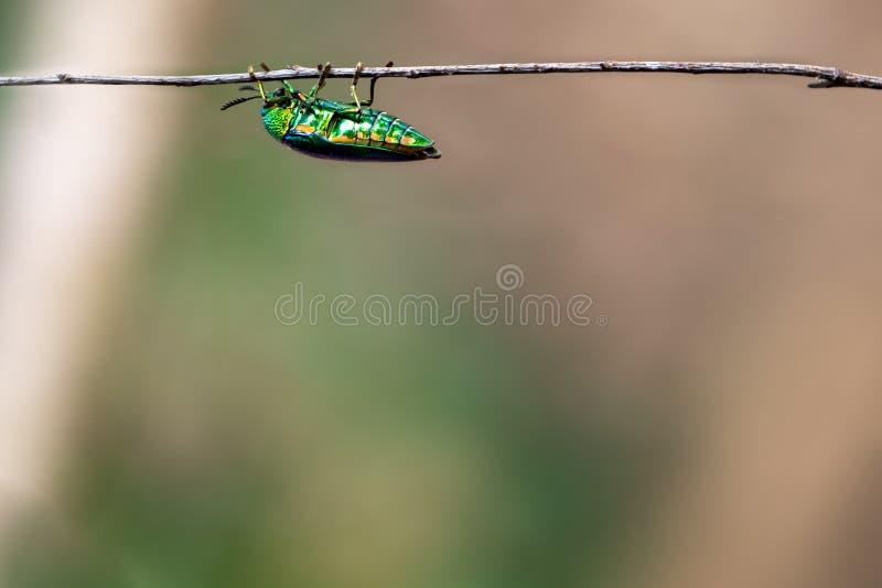 风行树的珠宝甲虫 免版税图库摄影