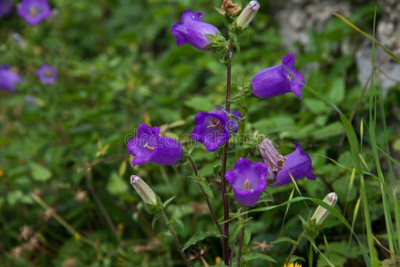 风轮草中等紫色花 库存图片
