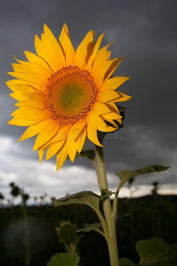 风雨如磐的向日葵 库存图片