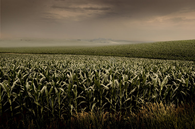 风雨如磐的玉米田 免版税库存图片