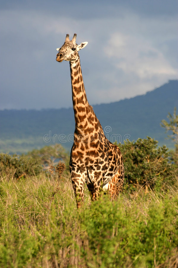 风雨如磐长颈鹿的天空 免版税库存图片