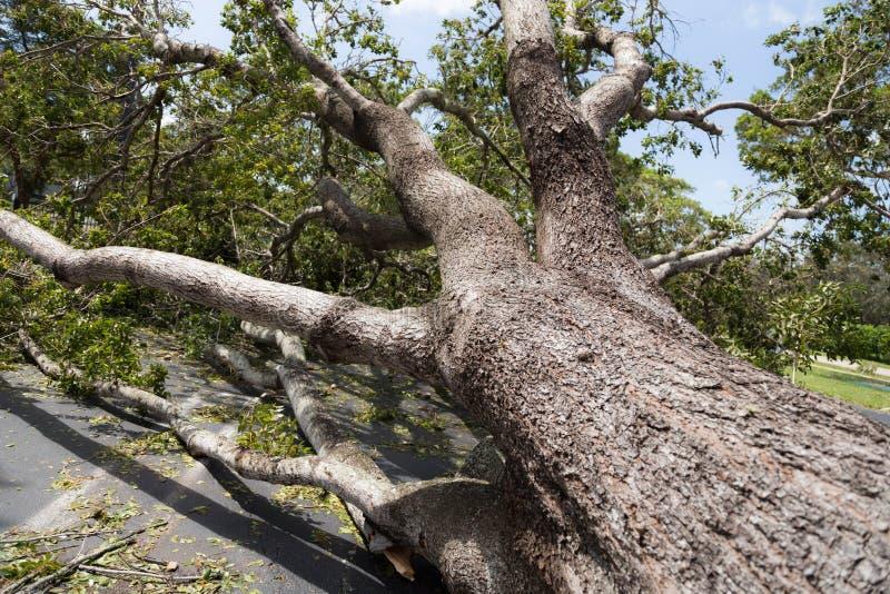 飓风厄马被击倒的橡树 免版税库存图片
