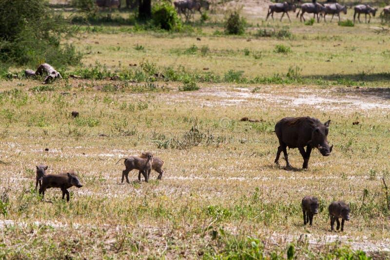 飞机的共同的warthog非洲野猪属非洲人 免版税图库摄影
