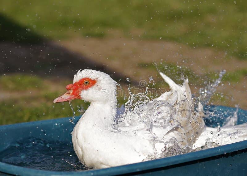 飞溅与水滴的鸭子 免版税库存图片