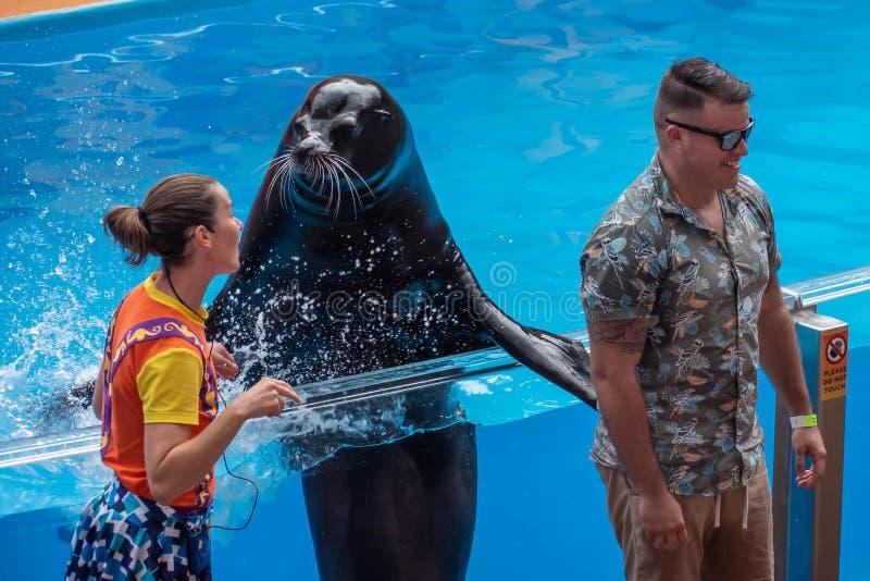 飞溅公开人的讨人喜欢的海狮与他的在海狮高展示的飞翅在Seaworld 5 免版税库存照片