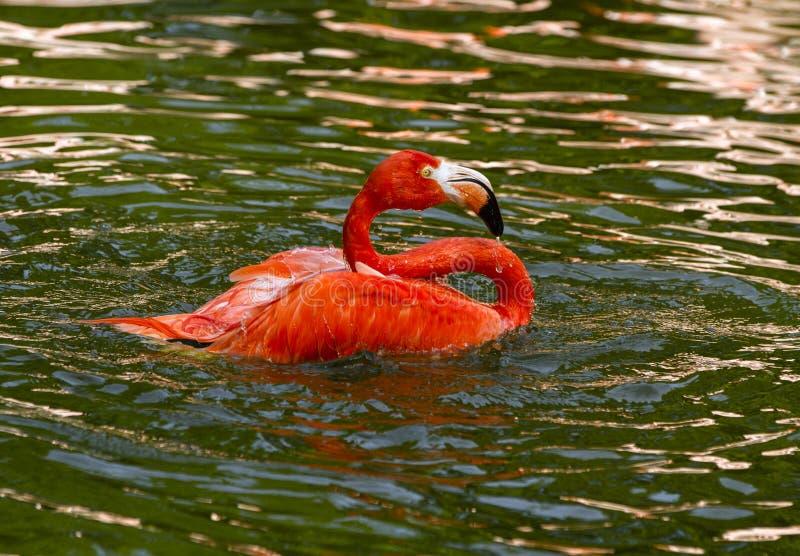 飞溅在水中的一群唯一红色火鸟 好的桃红色大鸟在自然栖所 免版税库存图片