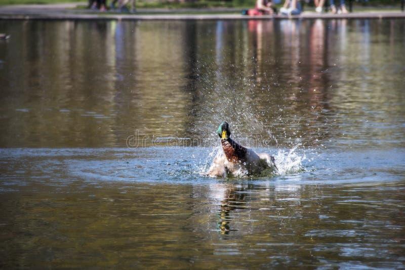 飞溅在池塘的水的中鸭子 库存照片