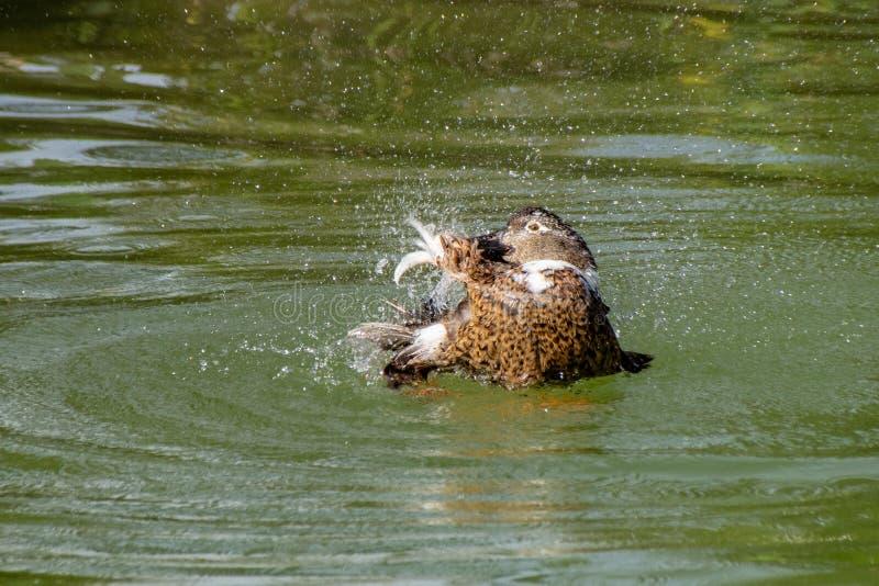 飞溅水和自夸游泳的大杂种鸭子在湖 库存图片
