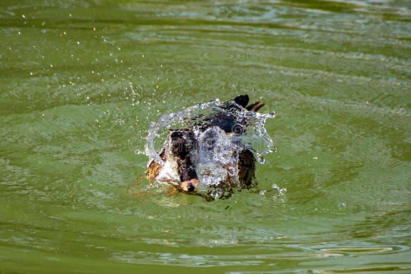 飞溅水和自夸游泳的大杂种鸭子在湖 图库摄影