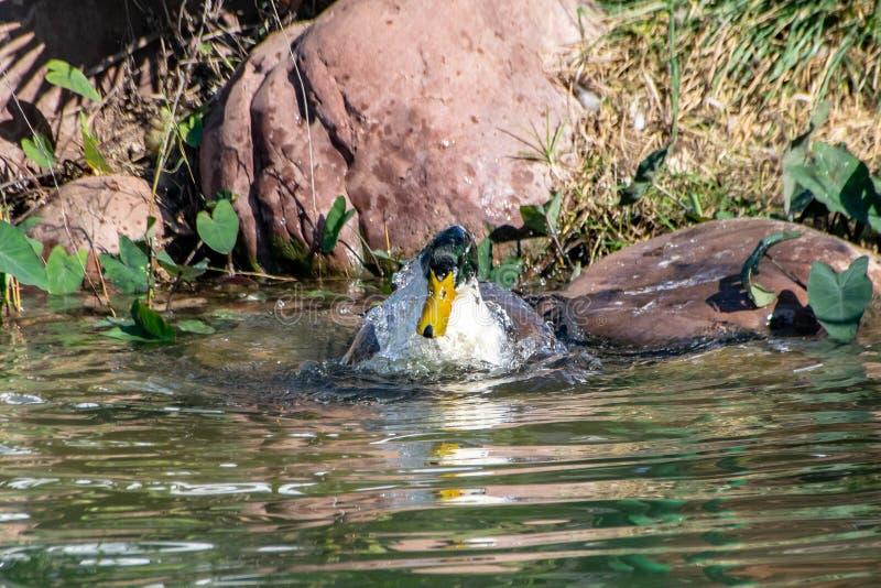 飞溅的鸭子,自夸和清洗羽毛全身羽毛在湖 库存照片