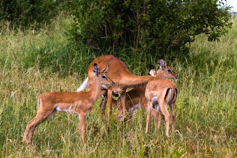 飞羚小牧群  Tarangire,坦桑尼亚 库存图片