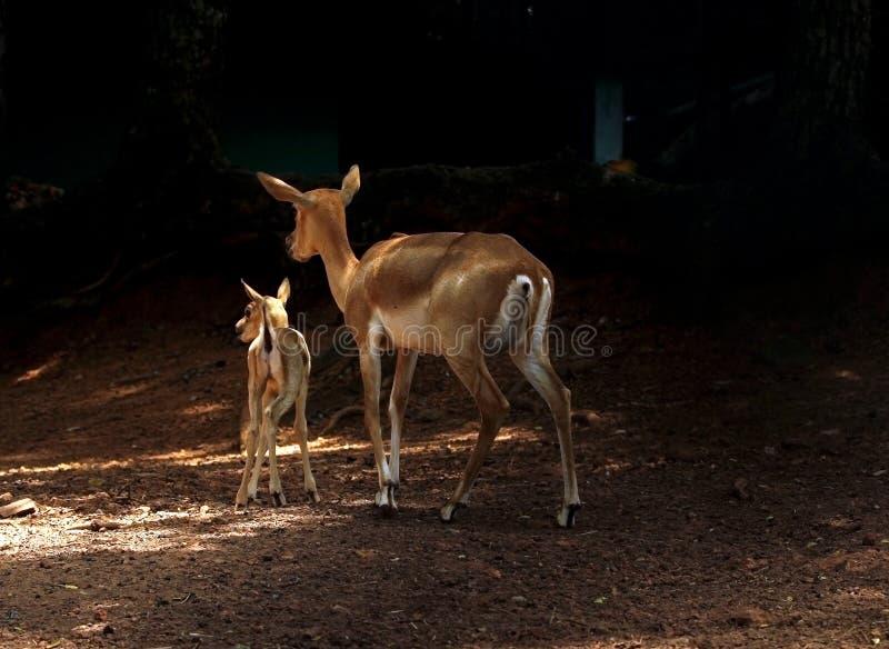 飞羚母亲鹿和小鹿 免版税库存照片